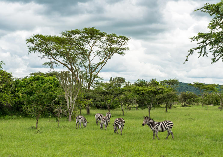 Ouganda zèbre savane