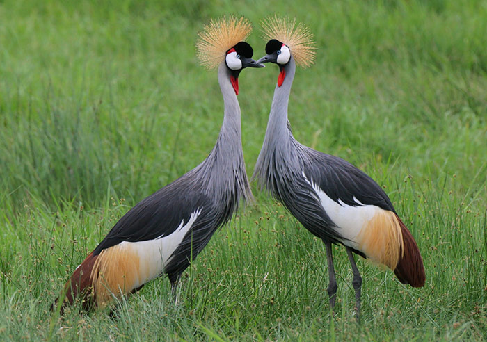 Ouganda oiseau grue royale